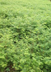 水杉苗 米径10-100公分