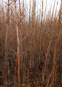 水杉树,米径2-10公分